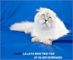 GATITOS SCOTTISH FOLD, BRITISH CON PEDIGREE