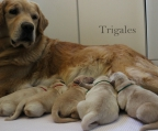 Cachorros Golden Retriever (FCA - Padre L.Europea)