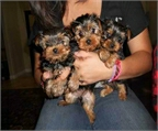 Yorkshire terrier macho y hembra disponible con pedigree