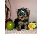 Taza/Toy Yorkshire Terrier Cachorros