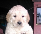 Golden Retriever en venta machos y hembras