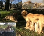 Cachorros, Perritos Golden Retriever
